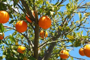 みかんとオレンジの違い比較の記事トップ